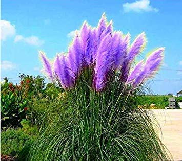 500 Pcs Pampas Grass Seed Patio and Garden Potted Ornamental Plants New Flowers (Pink Yellow White Purple) Cortaderia Grass Seed ()