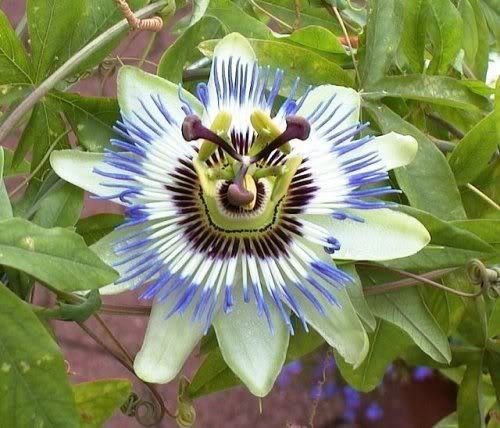 - 10 BLUE CROWN PASSION FLOWER VINE Passiflora Caerulea Seeds + Gift