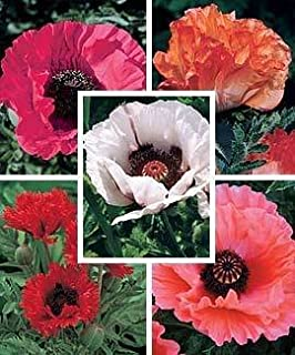 Amazon 40 coral reef poppy flower seeds papaver orientale 1000 mixed colors oriental poppy papaver orientale flower seeds by seedville mightylinksfo