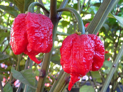 Carolina Reaper Pepper Plant - Non-GMO , Two (2) Live Plants - Not Seeds - Each 3