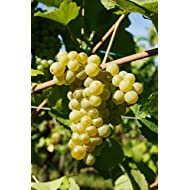 Pinot Blanc Wine Grape Vine - Plantable Year-Round!