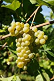 Kyпить Pinot Blanc Wine Grape Vine - Plantable Year-Round! на Amazon.com