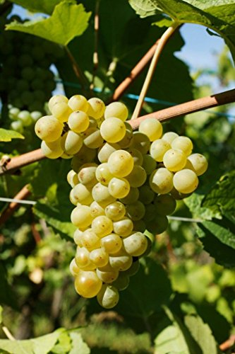 White Alsace Wine (Pinot Blanc Wine Grape Vine - Plantable Year-Round!)