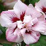 Hibiscus syriacus'Lady Stanley' 15cm Pot Size