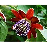Hirts Gardens Passiflora Alata Perfumed Passion Flower, 8 Seeds
