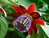 Hirts Gardens Passiflora Alata Perfumed Passion Flower, 8 Seeds