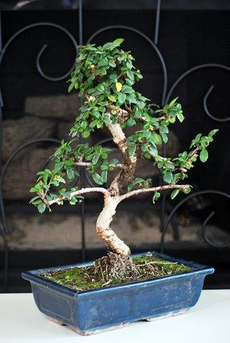 9GreenBox - 10 Ceramic Vase Imported Flowering Fukien Tea Indoor Bonsai Tree Flowering by ()