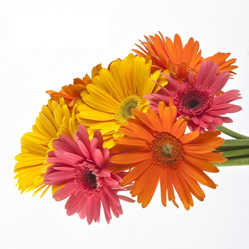 Wholesale Gerberas (150 Assorted) by eFlowy (Image #5)