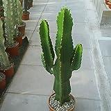 10 Seeds Euphorbia ingens Catus Tree