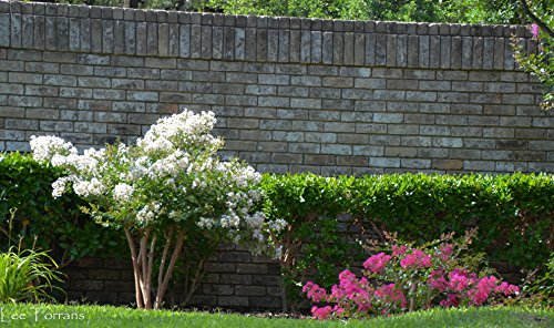 4 Pack - Acoma (White) Crape Myrtle Trees by CrapeMyrtleGuy