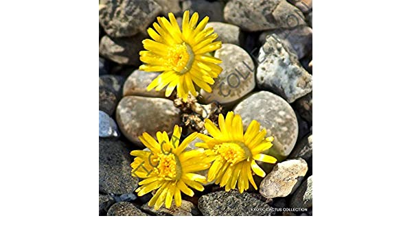 LITHOPS HERMETICA @ rare mesembs exotic succulent living stones cactus 15 SEEDS