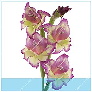 ZLKING 2PCS verdaderos Bulbos del gladiolo gladiolo hermoso de la flor de los bulbos flor simboliza Nostalgia Inicio Jardín de Plantas Bonsai 1