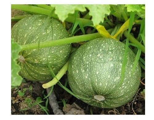 (20 Seeds Zucchini Round Summer Squash Unique Garden Heirloom Casserole Gourd)