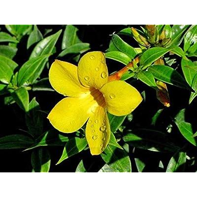 Allamanda compacta, Dwarf Allamanda - 3 Gallon Live Plant : Garden & Outdoor