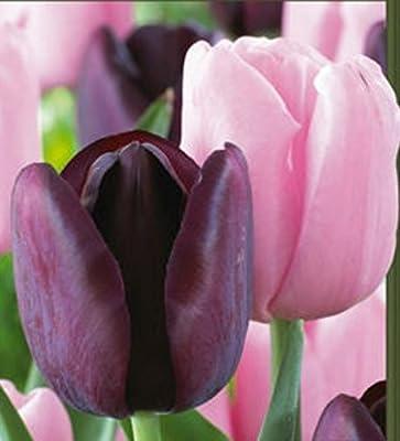 Sugar Plum Triumph Tulip Mixture-- 20 Nice, Fat Bulbs! Value Pack