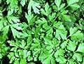 Heirloom Organic 400 Seeds Green Parsley Petroselinum Hortense Hoffm Curly Leaf Hamburg Root Seeds A075
