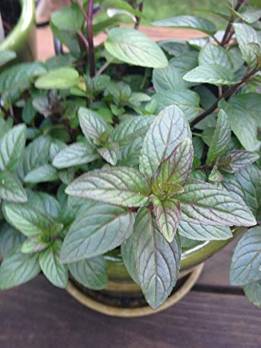 Chocolate Mint Live Plant by Chocolate Mint - Live Plant on house plant strawberry, house plant ginger, house plant candy cane, house plant sage, house plant lime, house plant pineapple, house plant banana,