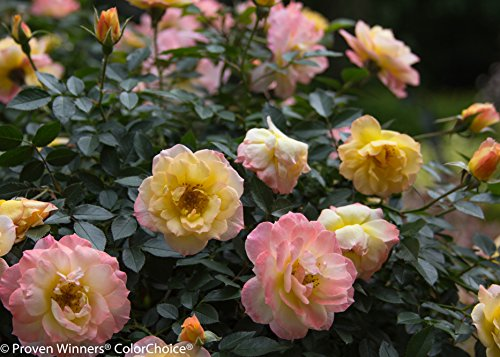 Proven Winners - Rosa OSO EASY Italian Ice (Rose) Rose, yellow w/pink, #2 - Size Container by Green Promise Farms (Image #3)