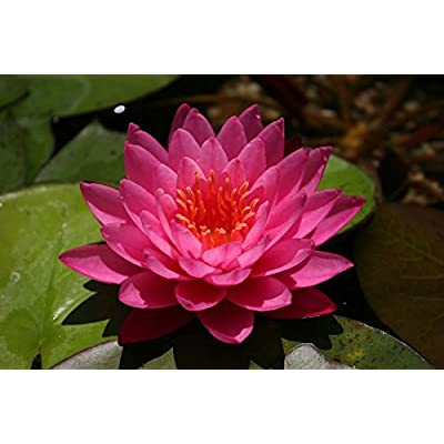 COMBO: 1 Fertilizer + 2 Live Aquatic Plant Nymphaea Mayla RED Color HARDY Water Lily TUBER for Aquarium Freshwater Fish Pond by JustNature : Garden & Outdoor