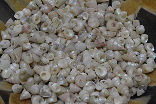 (2000 Pcs White Tiny Baby Pearl Trochus Sea Shell Beach Craft 2 Pound)