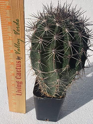 Live Saguaro Cactus Medium - Carnegiea Gigantea by Living Cactus by Valley Verde (Image #4)