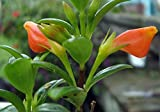 "Hirt's Goldfish Plant - 4"" Pot - Blooms Frequently!"