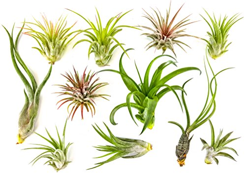 10 pc Bliss Gardens Air Plant Tillandsias / Wholesale Tillandsias / Bulk Airplants