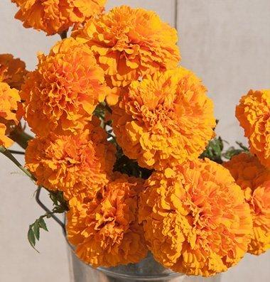 David's Garden Seeds Flower Marigold Giant Orange Heat Tolerant D1883 (Orange) 50 Open Pollinated Seeds