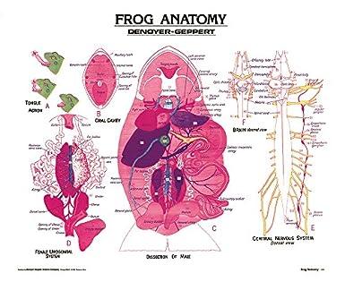 Frog Anatomy Wall Chart, Unmounted: Amazon com: Industrial
