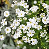 Package of 2,000 Seeds, Baby's Breath (Gyposophila elegans) Open Pollinated Seeds by Seed Needs