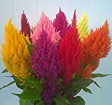 Plumed Cockscomb - Celosia argentea Mixed Color 250 seeds