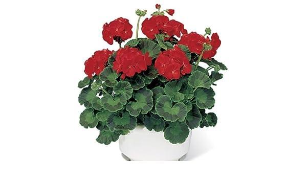 15 Geranium Seeds Pinto Premium Scarlet