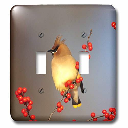 3dRose Danita Delimont - Cedar Waxwing - Cedar Waxwing in Common Winterberry, Marion, IL - Light Switch Covers - double toggle switch (lsp_250852_2)