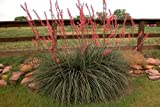 10 Seeds Hesperaloe parviflora Red Yucca Plant