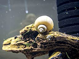 3 LARGE (1/2 to 2+ inch) Ivory White Mystery Snails - Algae-eaters by Aquatic Arts
