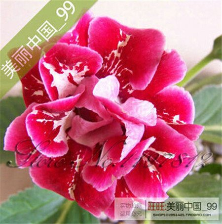 flowers gloxinia, gloxinia seeds, gloxinia flower seed Garden plants, perennial planting - 100 seeds ,buy 3 get 10 rose gift