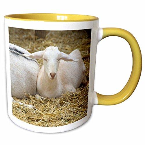 3dRose Danita Delimont - Farms - Massachusetts, Natick, Lookout Farm, goats - US22 LEN0244 - Lisa S. Engelbrecht - 11oz Two-Tone Yellow Mug - Outlets Natick