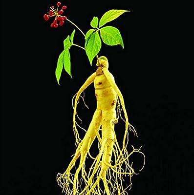 Hot Sale! 10pcs panax ginseng seeds, medicinal herb seeds, seed vegetables plants