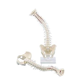 Wirbelsäule mit Becken Anatomie Modell Wirbelsäulenmodel flexiblen ...