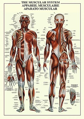 HUGE LAMINATED/ENCAPSULATED Muscular System POSTER measures approx. 38x26 inches (100x70cm)