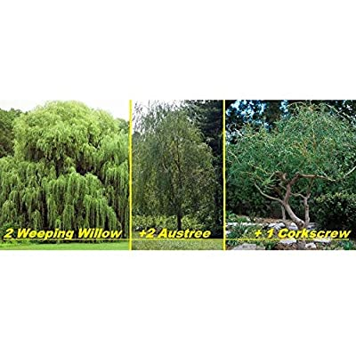 AchmadAnam - Live - 5 Live Willow Tree Plants - 2 Weeping Willows +2 Hybrid Willows +1 C. E16 : Garden & Outdoor