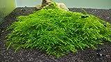Spiky Moss Live Freshwater Aquarium Plant by SoShrimp