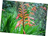 Seeds Chasmanthe Aethiopica 8 Seeds, Lesser Cobra Lily Garden Perennial Plant