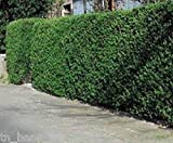10' Plants 10 Evergreen Chinese Privet Hedge Plant cuttings Zone 4-9