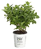 4.5 in. qt. Limelight Hardy Hydrangea (Paniculata) Live Shrub, Green to Pink Flowers