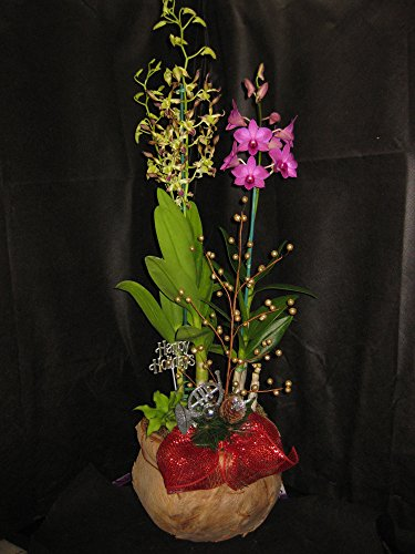2 BUDDED/BLOOMING DENDROBIUMS IN A DECORATIVE CHRISTMAS BASKET- A X-MAS GIFT OF ALOHA! by Kawamoto Orchid Nursery