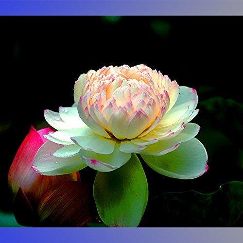 Solution Seeds Farm Rare Hierloom Rare Heirloom Light Yellow Nelumbo Nucifera Lotus with Red Top Flower Seeds, 2 Seeds, Fragrant