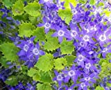 5 Starter Plants of Campanula Garganica Dickson's Gold