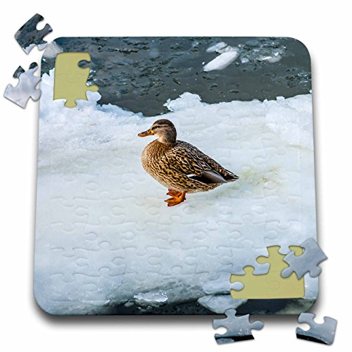 3dRose Alexis Photography - Birds - Female mallard duck on an ice plate. Cold winter season - 10x10 Inch Puzzle (pzl_284007_2) ()