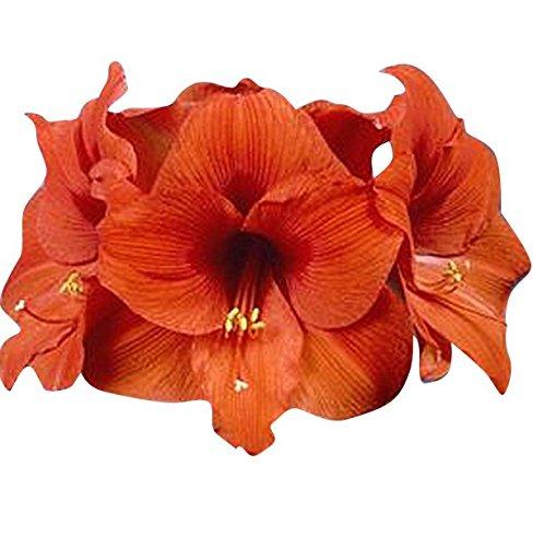Orange Sovereign Amaryllis - Orange Bare Root 28-30 cm. Large Bulb (Bulbs Amaryllis Bulk)